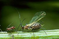 1A03-023a  Aphid - winged adult female and offspring (parthenogenesis) sucking juices from plant -   Dactynotus spp.