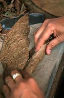 Cuba/La Havane: Le Torcedor prépare les cigares - Les feuilles de tabac sont roulées à la main - Fabrique de la Corona
