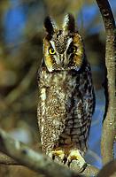 Adult Long-eared Owl (Asio otus). Ontario, Canada.
