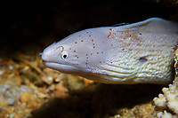 geometric moray or peppered moray eel, Gymnothorax griseus, being cleaner by a clear cleaner shrimp or red-white cleaner shrimp, Urocaridella antonbruunii, Egypt, Red Sea, Africa, Indian Ocean