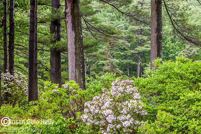 Mountain Laurel (Kalmia latifolia) in the Townsend State Forest, Townsend, Massachusetts, USA