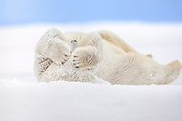 Polar bear covers its face with its large paws while rolling in the snow on an island in the Beaufort Sea on Alaska's arctic coast.