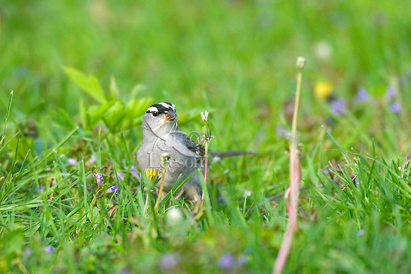 White-crowned Sparrow (Zonotrichia leucophrys). Spring. Great Lakes region.  Feeding on dandelion seeds.