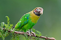 Brown-hooded Parrot (Pyrilia haematotis).  Found from S.E. Mexico to N.W. Colombia.  Photo taken in Costa Rica's lowland rainforest.
