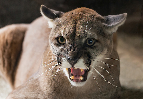 Mountain Lion or cougar (Puma concolor) snarling.