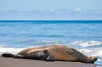 Hawaiian monk seal, Neomonachus schauinslandi ( Critically Endangered species, endemic to Hawaiian Islands ), resting on beach with two week old pup, Waimanu Valley, Hawaii Island ( Pacific Ocean )