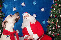 Magnuson, a great dane, poses for a holiday photo with Santa at Pet Pros in Redmond, WA to help raise money for Dogs Deserve Better on December 11, 2010. (photo by Karen Ducey)