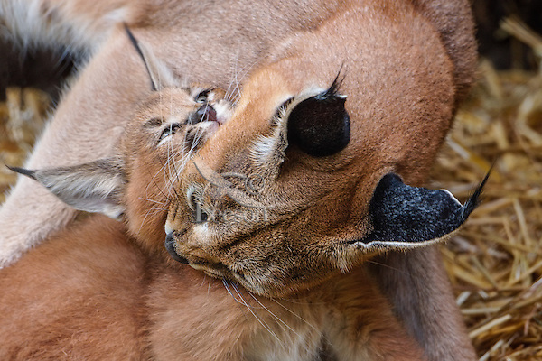 """Caracal (Caracal caracal) mom grooming kitten.  The word """"Caracal"""" comes from the Turkish word """"karakulak"""" which means """"black ear.""""  Caracals are found in Africa through Central Asia and India."""