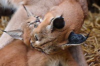 "Caracal (Caracal caracal) mom grooming kitten.  The word ""Caracal"" comes from the Turkish word ""karakulak"" which means ""black ear.""  Caracals are found in Africa through Central Asia and India."