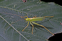 Gemeine Eichenschrecke, Männchen, Meconema thalassinum, Meconema varium, drumming katydid, oak bush-cricket, oak bush cricket, male, Tettigoniidae