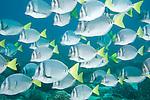 Punta Cormoran, Floreana Island, Galapagos, Ecuador; a polarized school of Razor Surgeonfish (Prionurus laticlavius) swim over the rocky reef , Copyright © Matthew Meier, matthewmeierphoto.com All Rights Reserved