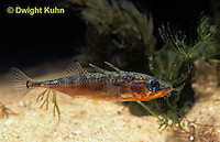 1S12-032z  Three Spined Stickleback - male with reproductive colors - red belly, blue eyes - Gasterosteus aculeatus
