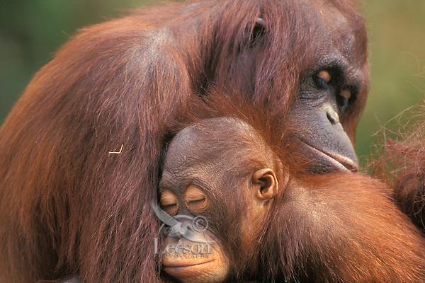 Orangutan (Pongo pygmaeus) mother with baby.(Lowery Park Zoo, Tampa, Florida).