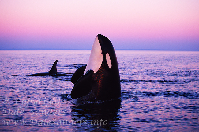 Killer Whale (Orcinus orca) spyhopping after sunset in Juan de Fuca Strait,<br /> British Columbia, Canada. *** To License or Purchase this Image you must contact MASTERFILE at www.masterfile.com