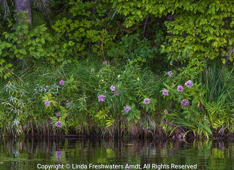Swamp milkweed growing on the shoreline of Barber Lake in northern Wisconsin.