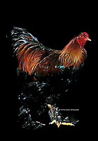 In the photo the race Gold Brahma Chicken  male.<br /> <br /> The Brahma is an American breed of chicken. It was developed in the United States from birds imported from the Chinese port of Shanghai and was the principal American meat breed from the 1850s until about 1930<br /> <br /> Photo Roosters and Hens Ornamental breeds, Italian champion breeds August 2020.