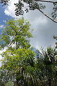 Amazon, Brazil. Rain forest trees.