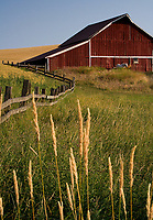 A fine art western landscape of a red barn and two horses in the Palouse region of Washington State, U.S.A., with an old curving wooden fence leading towards the barn, then curving left, bordering fields of wheat changing from green to a harvestable golden color, with tall grasses and barbed wire in the foreground.