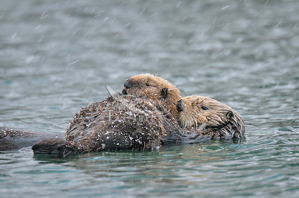 Alaskan or Northern Sea Otter (Enhydra lutris) mom with young pup rest in a sheltered cove during late winter snow shower.  Alaska.