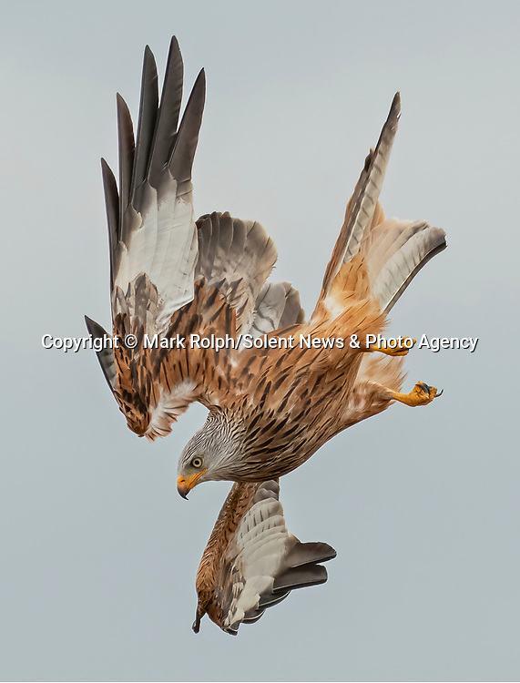 """Pictured:  Red Kites in the sky, witnessed from Photographer Mark Rolphs' garden in Ceredigion, Wales. <br /> <br /> Two majestic red kites provide free lockdown entertainment by doing battle in the skies above a Welsh garden.   The birds of prey swoop and dive, competing over small morsels of food in mid-air.<br /> <br /> The pictures were taken by hobby photographer Mark Rolph, on his property in the village of Penuwch, Ceredigion, where he he says he s sometimes lucky enough to see as many as 30 kites circling above his house.   The 54 year old retired civil servant said: """"The kites battle and tumble with each other in the skies above our land, usually over food or potentially seeking a partner.  SEE OUR COPY FOR DETAILS<br /> <br /> Please byline: Mark Rolph/Solent News<br /> <br /> © Mark Rolph/Solent News & Photo Agency<br /> UK +44 (0) 2380 458800"""