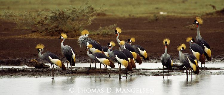 Crowned cranes gather on the shores of Lake Manyara, Tanzania.