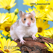 Xavier, ANIMALS, REALISTISCHE TIERE, ANIMALES REALISTICOS, photos+++++,SPCHHAMSTER190,#A#, EVERYDAY ,funny