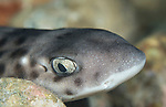 Hemiscyllium freycineti (Quoy & Gaimard, 1824) (Indonesian speckled carpetshark. is a species of bamboo shark in the family Hemiscylliidae. It is found in the shallow ocean around the Raja Ampat Islands in West Papua, Indonesia, but was formerly believed to be more widespread.