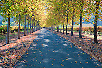 Tree lined roadway with grape vineyard in fall color. Napa Valley, California.