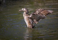 Female Wood Duck standing up in water flapping wings
