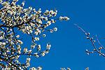 Europa, DEU, Deutschland, Rheinland-Pfalz, Untermosel, Kobern-Gondorf, Fruehling, Kirschbaumbluete an der Mosel, Natur, Umwelt, Landschaft, Jahreszeiten, Stimmungen, Landschaftsfotografie, Landschaften, Landschaftsphoto, Landschaftsphotographie, Wetter, Wetterelemente, Wetterlage, Wetterkunde, Witterung, Witterungsbedingungen, Wettererscheinungen, Meteorologie, Wettervorhersage, <br /> <br /> [Fuer die Nutzung gelten die jeweils gueltigen Allgemeinen Liefer-und Geschaeftsbedingungen. Nutzung nur gegen Verwendungsmeldung und Nachweis. Download der AGB unter http://www.image-box.com oder werden auf Anfrage zugesendet. Freigabe ist vorher erforderlich. Jede Nutzung des Fotos ist honorarpflichtig gemaess derzeit gueltiger MFM Liste - Kontakt, Uwe Schmid-Fotografie, Duisburg, Tel. (+49).2065.677997, ..archiv@image-box.com, www.image-box.com]