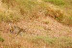 Bobcat (Lynx rufus) male walking in northern coastal prairie, Point Reyes National Seashore, California