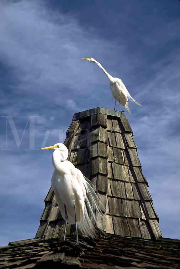 great egrets on a roof. Orlando Florida, Gatorland.