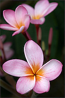 Close-up of pink plumeria with soft background