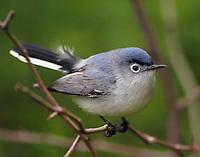 Blue-gray gnatcatcher in April