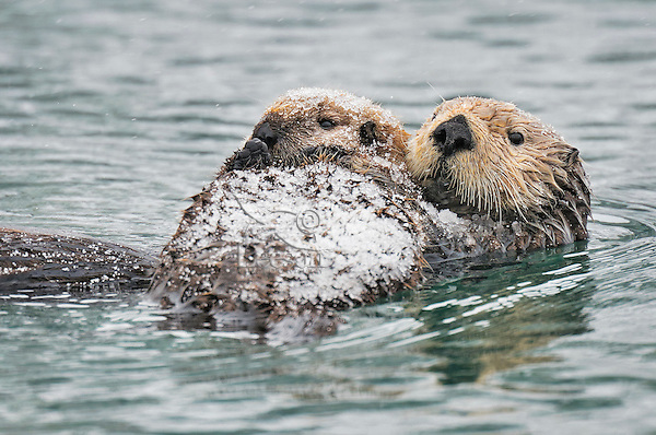 Alaskan or Northern Sea Otter (Enhydra lutris) mom holding pup which is covered with a light coat of icy snow.