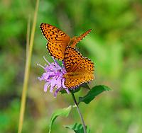 Two orange and black butterflies on a purple wildflower.