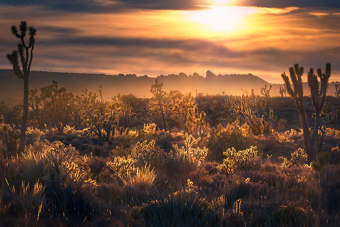 A garden of cholla cactus and Joshua Trees catch the last light of day deep in the Mohave desert.