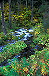 Roaring River along the Aufderheide Memorial Drive portion of West Cascades National Scenic Byway, Willamette National Forest, Oregon..#2362-3559