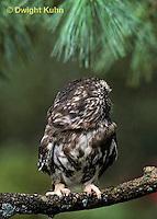 OW02-039z  Saw-whet owl - turning head - Aegolius acadicus