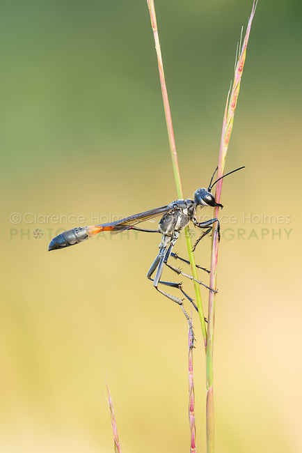 A Thread-waisted Wasp (Ammophila procera) clings to its overnight roost on a grass stem in the early morning.
