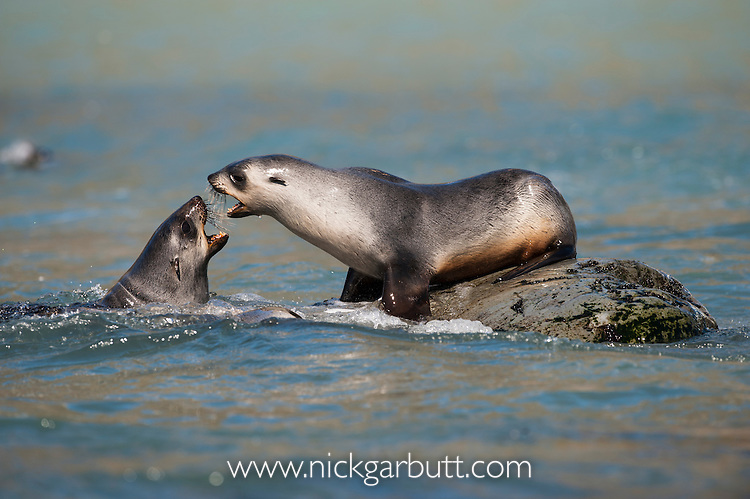 Antarctic Fur Seal pups (Arctocephalus gazella) playing in surf. Gold Harbour, South Georgia, South Atlantic.