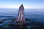 505 Gray Whales Baja, Mexico