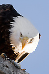 Bald Eagle (Haliaeetus leucocephalus), Tule Lake National Wildlife Refuge, California