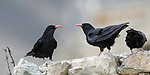 Pair of red-billed choughs (Pyrrhocorax pyrrhocorax) on a rocky garden wall. High mountain village, Ladakh, northern India.