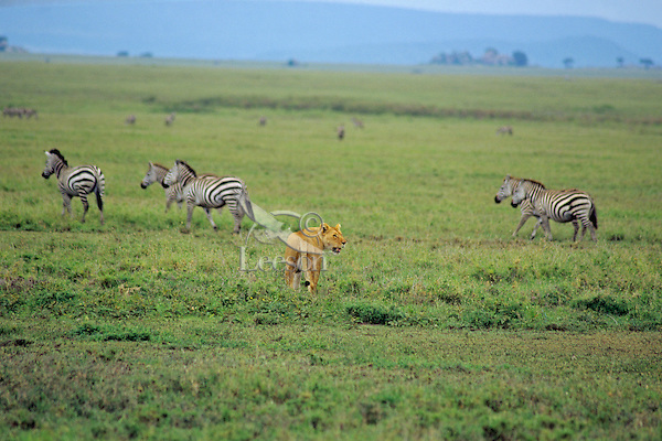 African Lioness hunting zebras.  Africa.