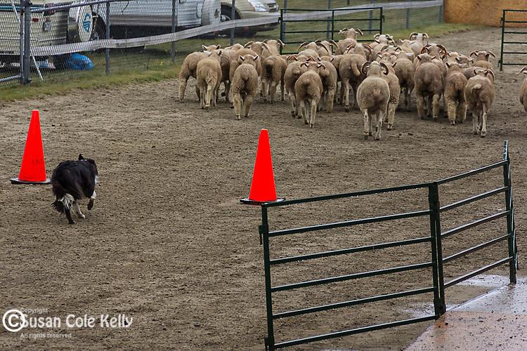 Sheepdog trials at the Blue Hill fair in Blue Hill, Maine, USA