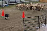 Sheepdog trials at the Blue Hill fair in Blue Hill, Maine, USA