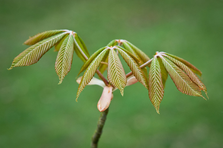 New young leaves of painted buckeye (Aesculus sylvatica), late March.