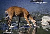MA22-002z  White-tailed Deer - drinking from pond - Odocoileus virginianus