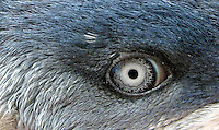 Little Penguin on the New South Wales South Coast and Coastal Island bird surveys